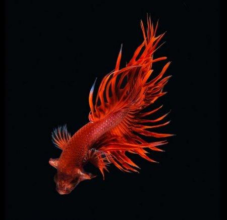 Выразительные фотографии бойцовых рыб (15 фото)