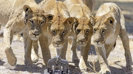 Львы на максимально близком расстоянии (22 фото + видео)
