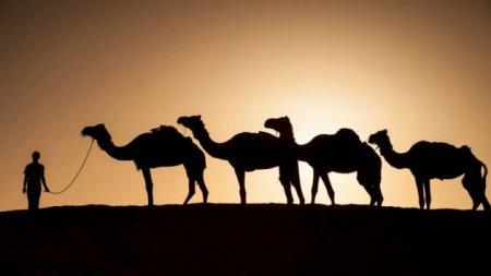 Топ-10: Удивительные факты о верблюдах
