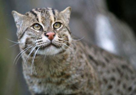Новый вид кошки, обнаруженный в Бразилии, и другие редкие представители кошачьих (16 фото)