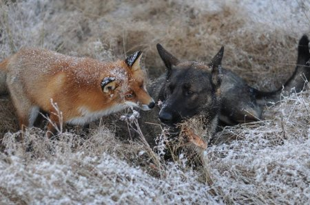 Охотничий пёс и лис – друзья не разлей вода (10 фото)