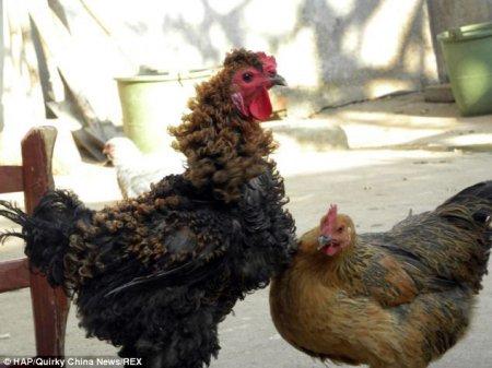 Петух с кудрявыми перьями (5 фото)