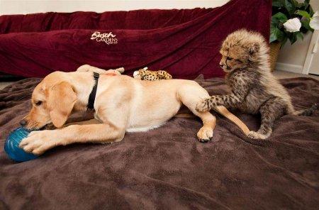 Гепарды зоопарка Сан-Диего и их компаньоны-собаки (11 фото)