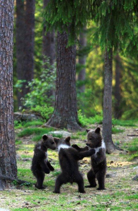 Медвежий хоровод в финском лесу (10 фото)