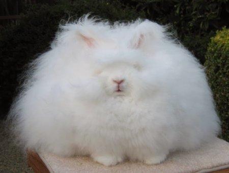 Ангорский кролик: самый пушистый зайчик в мире (4 фото)