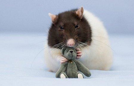 Очаровательные крысы и плюшевые мишки (21 фото)