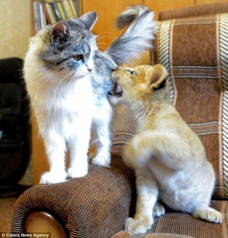 Лилигрёнок Киара и кошка Дарка, ставшая ей кормящей матерью (9 фото)