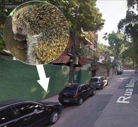 Дикобраз упал бразильянке прямо на голову (6 фото)