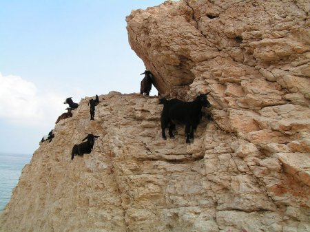 Горные козлы: уникальные животные, у которых отсутствует страх высоты (17 фото)