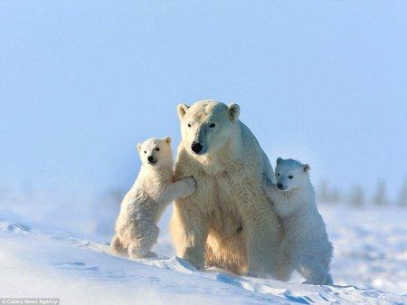 Белые медвежата-тройняшки на первой в своей жизни прогулке (8 фото)