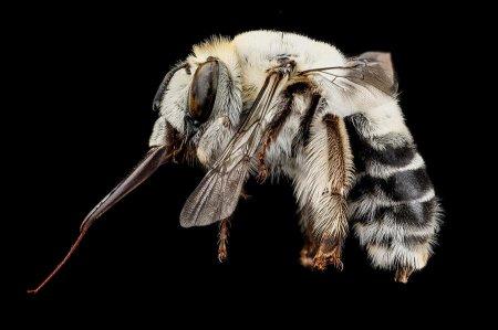 Макрофотографии североамериканских пчёл (8 шт)