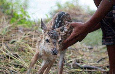 Спасение оленёнка (12 фото)