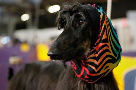 Лохматые участники выставки Westminster Kennel Club 2014 (21 фото)