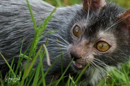 Новая порода кошек, представители которой выглядят, как оборотни (3 фото + видео)
