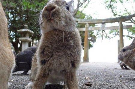 Окуносима: кроличий остров (15 фото)