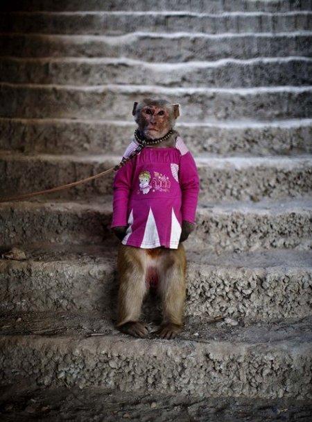 Бизнес на обезьянах в Пакистане (11 фото)