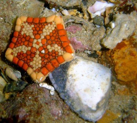 Необычная морская звезда Tosia neossia (12 фото)