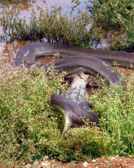 Поединок между крокодилом и питоном (13 фото)