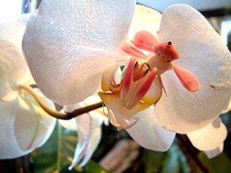 Орхидейные богомолы (13 фото)