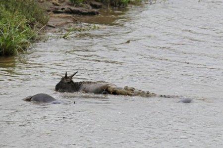 Бегемоты спасли антилопу гну от крокодила (11 фото + видео)