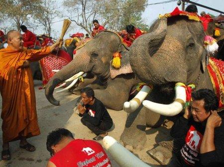 Национальный день слонов в Таиланде (10 фото)