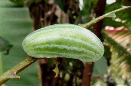 Гусеница, похожая на арбуз (3 фото)