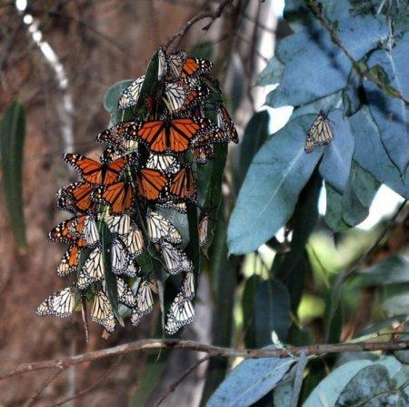Бабочки Данаида монарх во время миграции (13 фото)