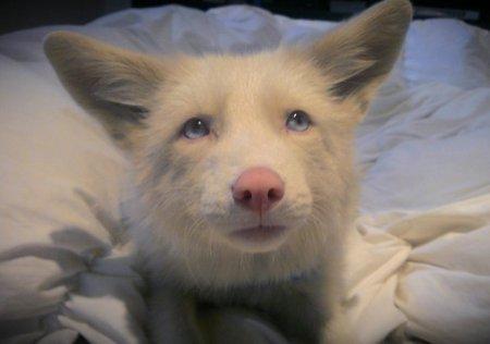 Уникальная лисица с розовым мехом (11 фото)