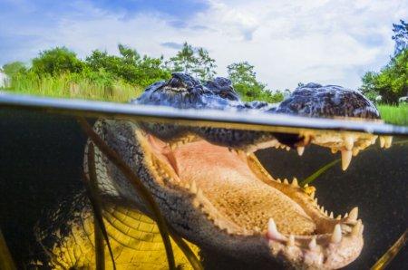 Миссисипские аллигаторы в объективе Масы Усиоды (8 фото)
