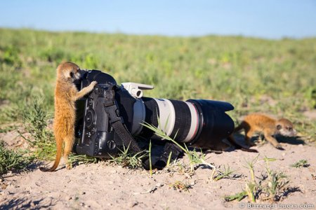 Забавные сурикаты через объектив фотографа Уилла Баррарда-Лукаса (18 фото)