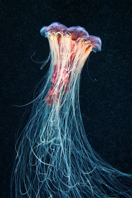 Завораживающие фотографии медуз (14 фото)