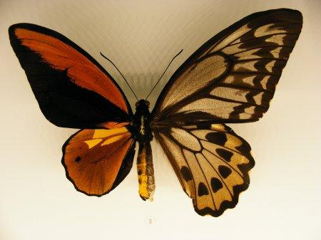 Необычные бабочки-гинандроморфы (12 фото)