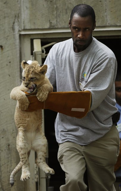Львята проходят испытание на выживание (9 фото)