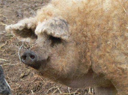 Мангалицы: длинношёрстные свинки, выведенные в Венгрии (8 фото)