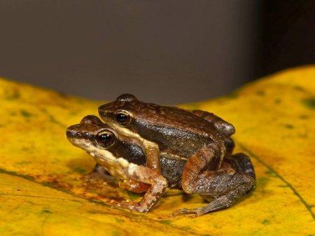 Обнаружено 14 новых видов «танцующих лягушек» (7 фото)