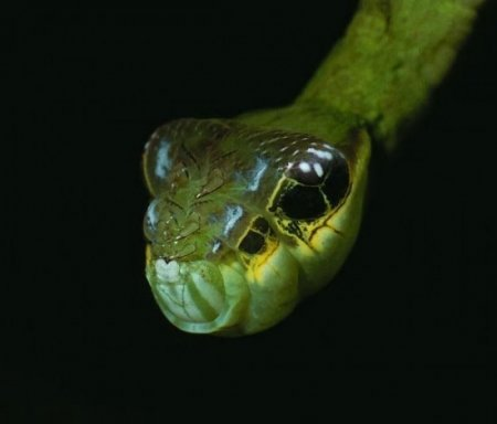 Hemeroplanes Triptolemus: жуткая змея, которая на самом деле является безвредной гусеницей (4 фото + видео)