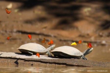 Чудеса природы: Амазонские бабочки, которые пьют слёзы черепах (3 фото + 2 видео)