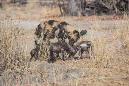 Гиеновидная собака, или африканская дикая собака (25 фото)