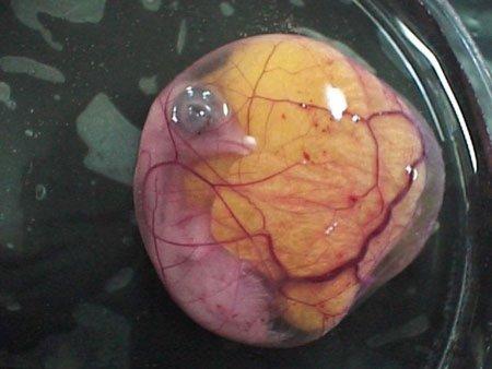 Эмбриональное развитие и появление цыплёнка на свет (29 фото + видео)