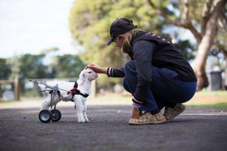 Прелестный козлёнок Снежок делает первые шаги на инвалидной коляске (9 фото + видео)