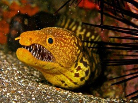 Саблезубая мурена: агрессивная подводная хищница (8 фото)