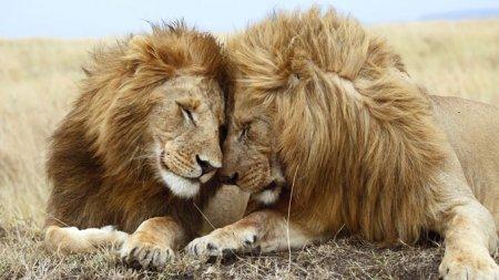 Любовь в мире больших кошек (28 фото)