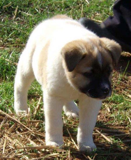 Необычная собака по кличке Пиг (10 фото + видео)