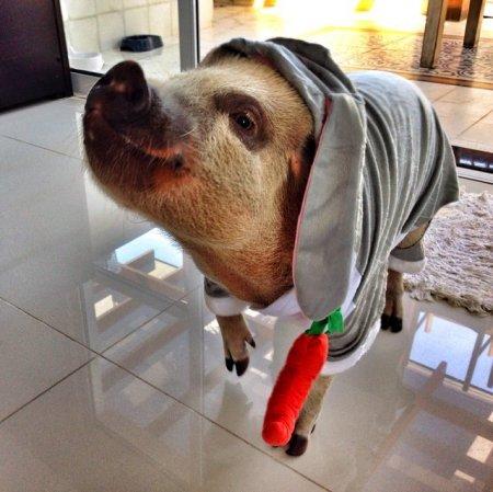 Жамон – свинья, очаровавшая Инстаграм (7 фото)