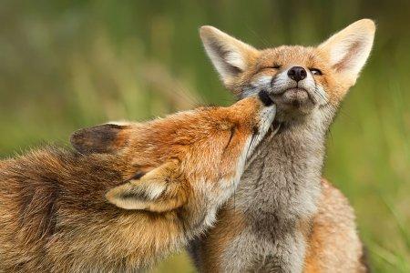 Потрясающие фотографии диких лис от Розелин Раймонд (21 шт)
