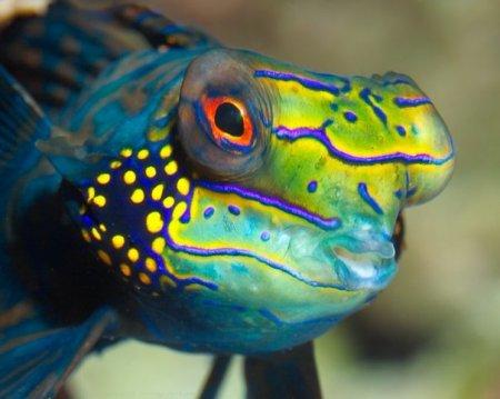 Красочные рыбки-мандаринки (6 фото)