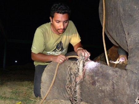 Слон Раджу плачет, радуясь своему спасению после 50 лет страданий в цепях (9 фото)