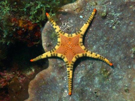 Эффектная морская звезда Iconaster longimanus (10 фото)