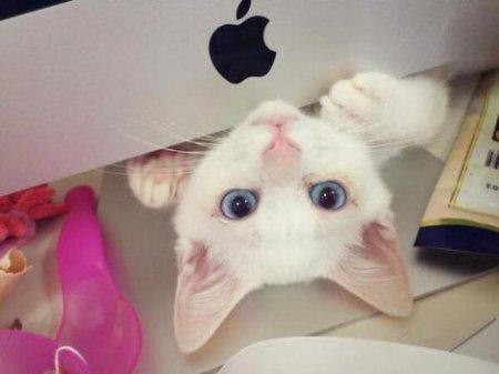 Голубоглазая кошка по кличке Сетсу (9 фото)