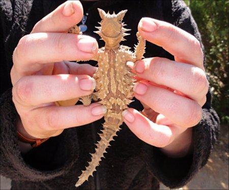 Ящерица Молох, или тернистый дракон Австралии (15 фото)